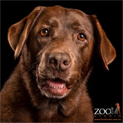 smiling chocolate labrador girl - head shot
