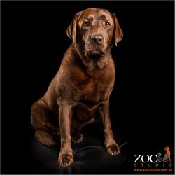 shiny coat dark chocolate female labrador sitting
