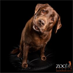 head tilting female chocolate labrador
