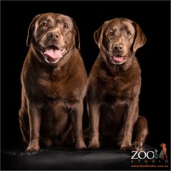 sitting fur-sister chocolate labradors