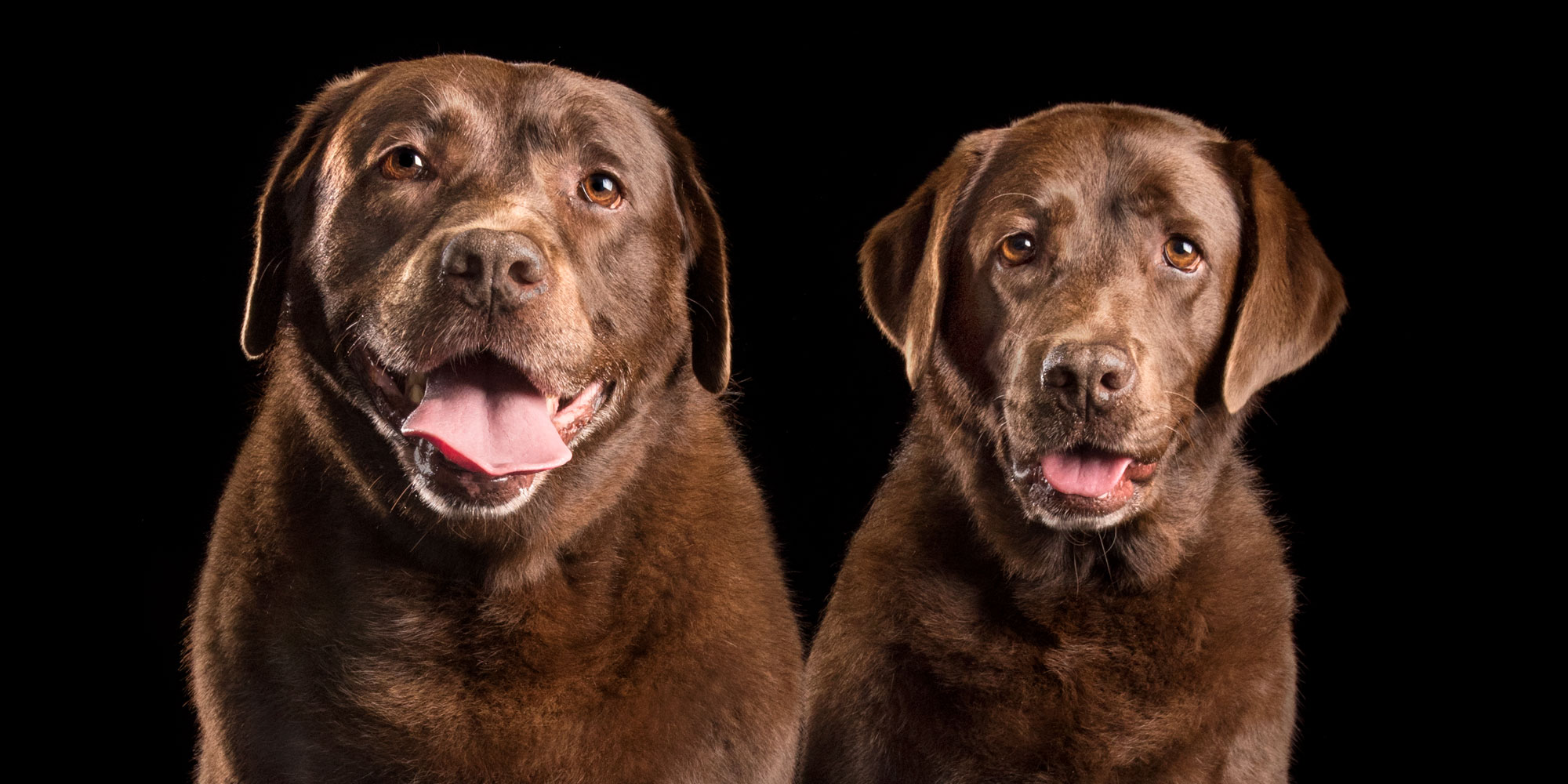 pair of big smiles from two female chocolate labs