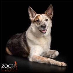 sitting and smiling australian cattle dog cross boy