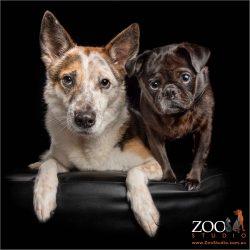snuggled close fur siblings female pug and male cattle dog cross