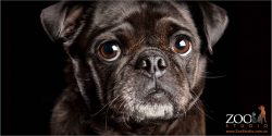 face close up black pug girl with greying chin