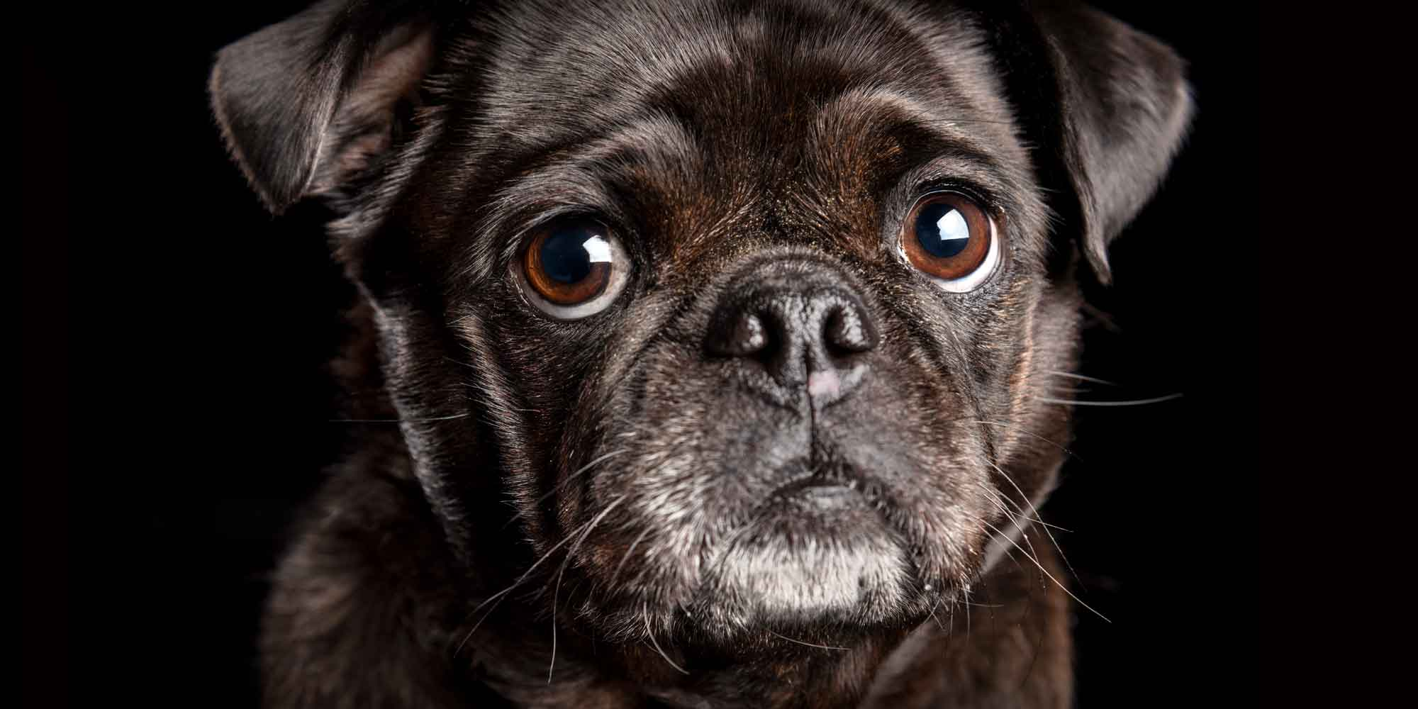 big eyed black pug girl with greying chin