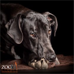 head on paws black male great dane