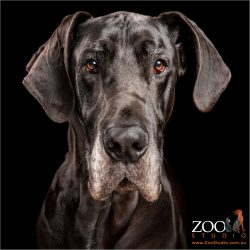 full face black great dane boy