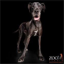 proud stance shiny black male great dane