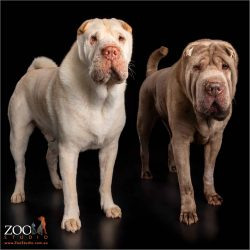 shar pei fur siblings lilac girl and cream boy