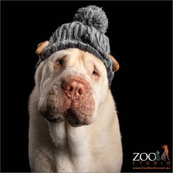 cream shar pei boy wearing a beanie