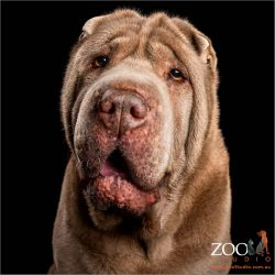 smiling lilac female shar pei