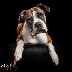 red and white boxer sitting on ottoman