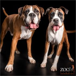 boxer fur-siblings with tongues out