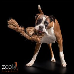 red and white boxer playing with rope toy