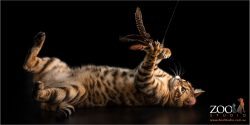 bengal cat on back playing with fish toy