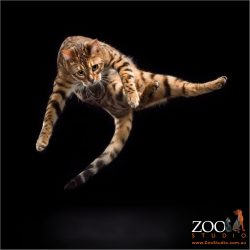 leaping bengal boy cat