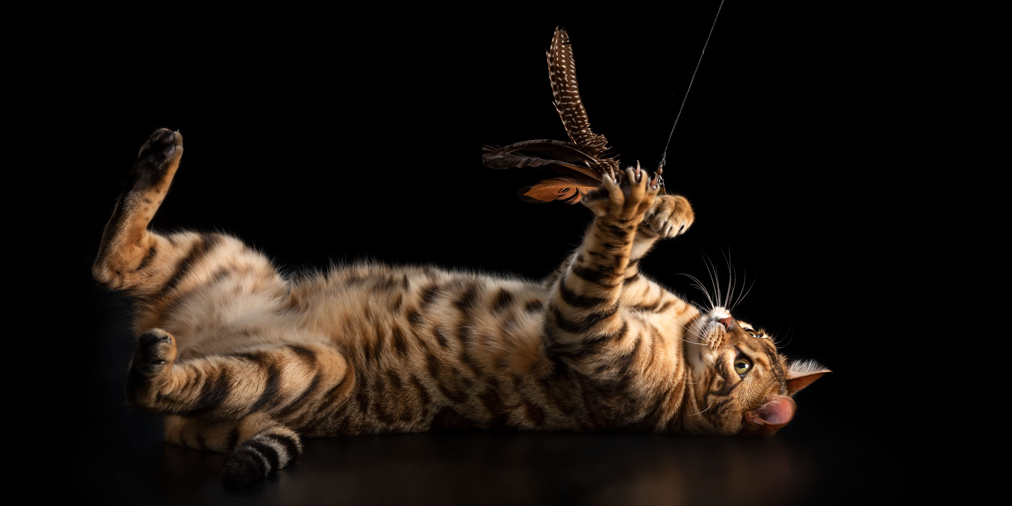 bengal male cat playing with fish toy lying on back