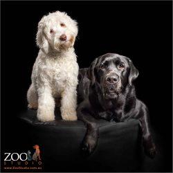fur-sisters labrador and labradoodle