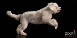 leaping labradoodle young white girl