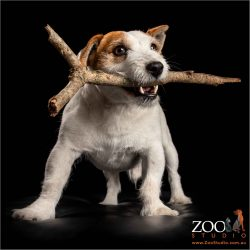 playful jack russell with stick in mouth