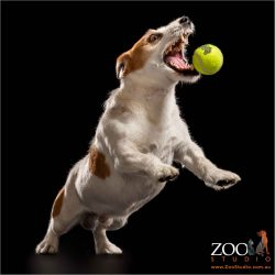 brown and white jack russell boy leaping for tennis ball