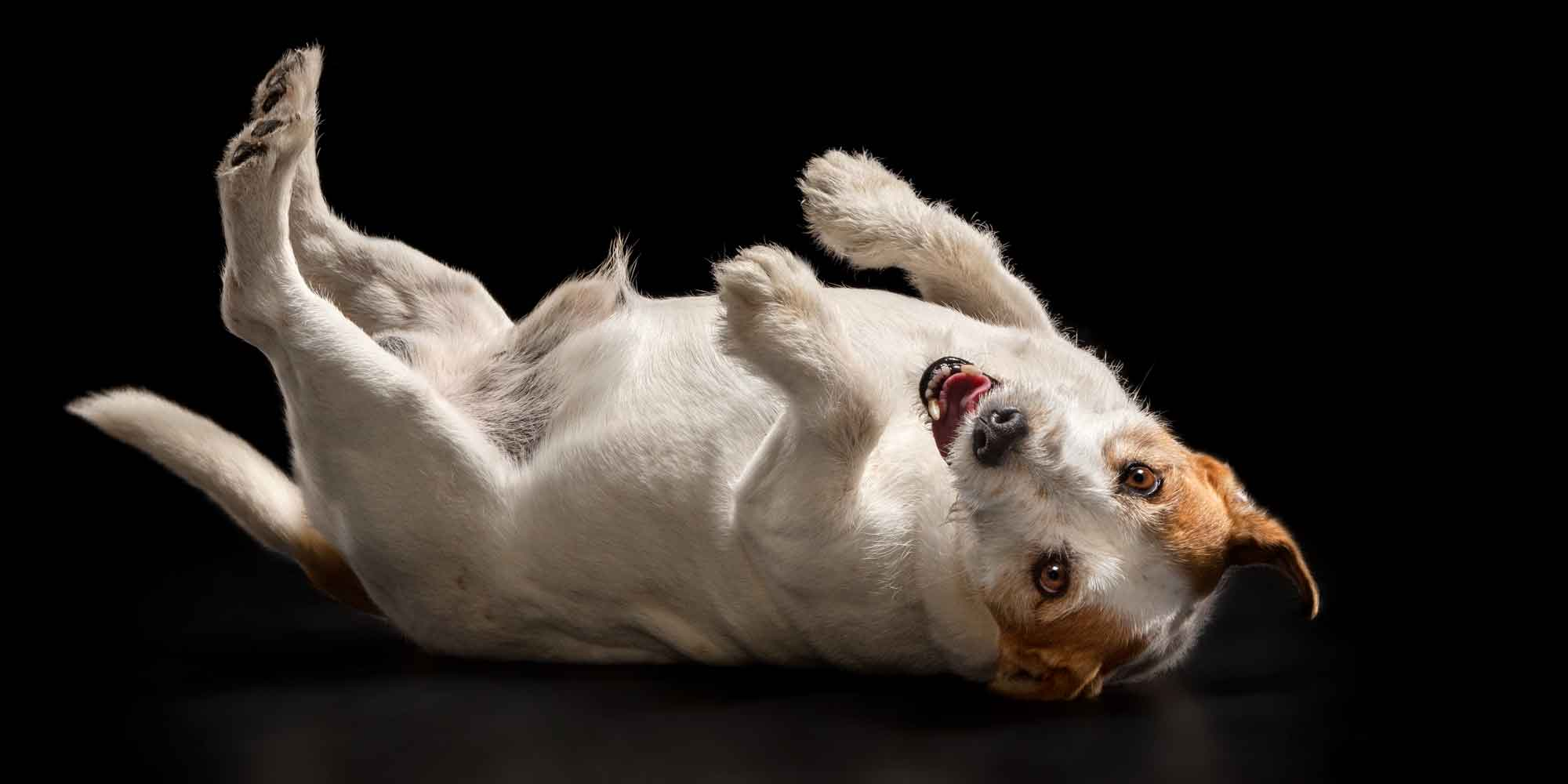 senior jack russell boy lying on back with four legs in the air