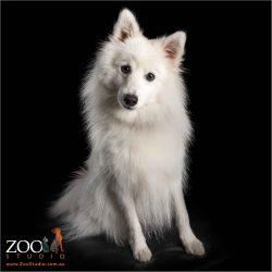 fluffy white male japanese spitz