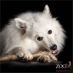 fluffy white male japanese spitz chewing on  a stick