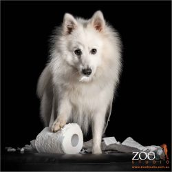 handsome japanese spitz unravelling toilet roll