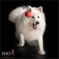 white male japanese spitz chasing red ball