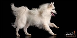 profile of running white  japanese spitz