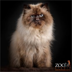 cream and brown himalayan cat in sitting pose