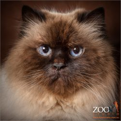 stunning blue eyes close up female himalayan cat