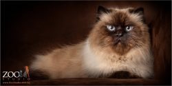 lying down blue eyed female himalayan cat