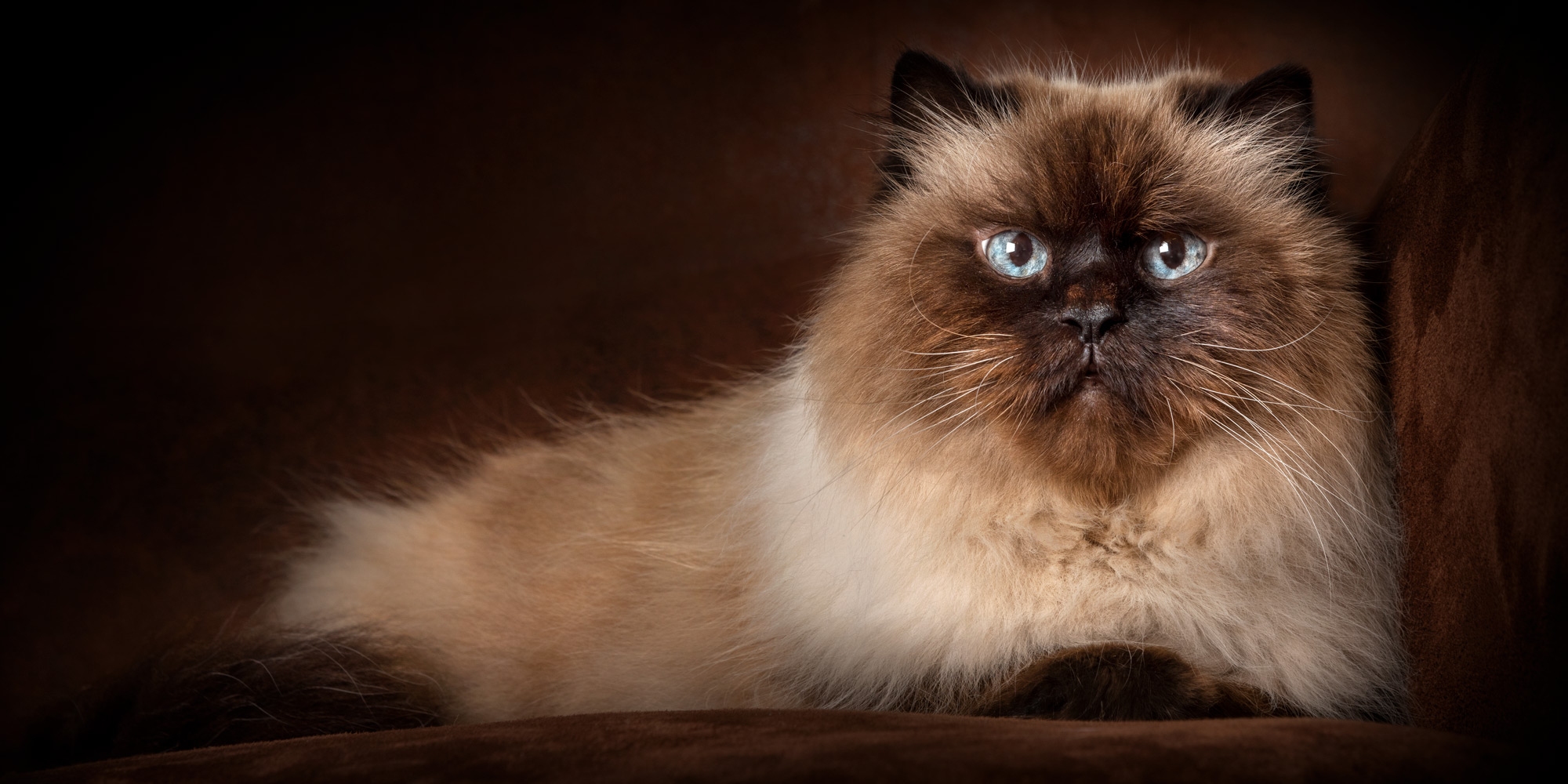 cream and brown female himalayan cat lying down