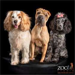 trio of fur-siblings girls two cocker spaniels and a shar pei