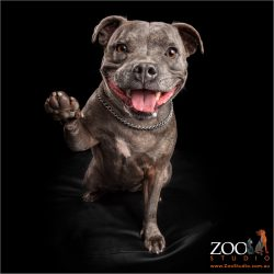 gigantic smile and high five from blue female staffy