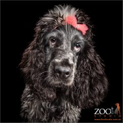 blue road cocker spaniel girl with bright pink bow in hair