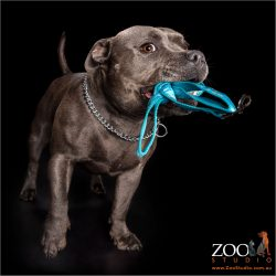 blue staffy taking herself for a walk with lead in mouth