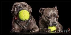 staffy fur-sisters with large balls in mouths
