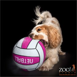 playful girl cocker spaniel with giant soccer ball