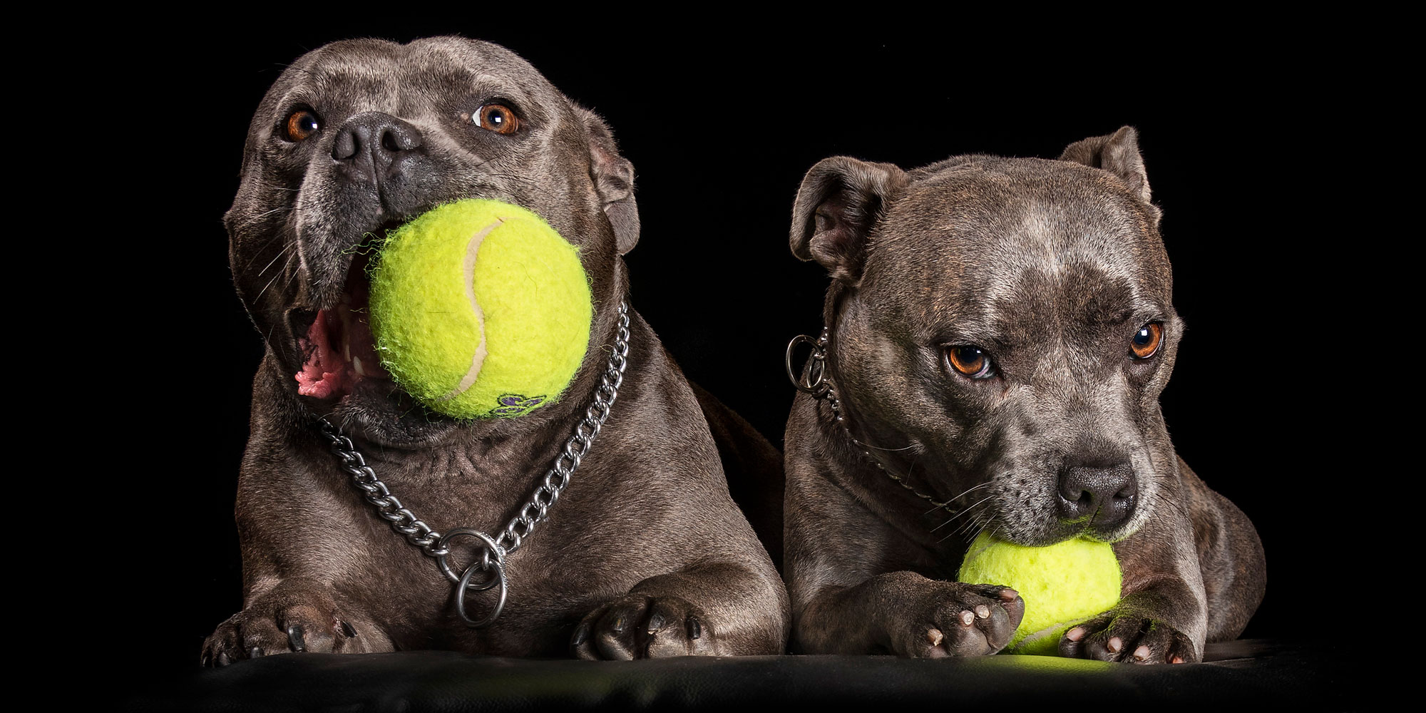 blue staffy fuf-sisters each with yellow ball in mouth