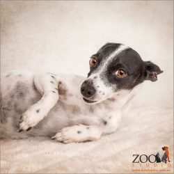 sooky look from female mini fox terrier cross