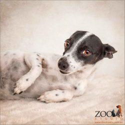 sooky look from female mini fox terrier cross