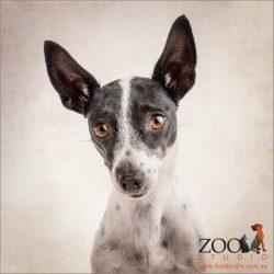 big eared black and white mini fox terrier cross