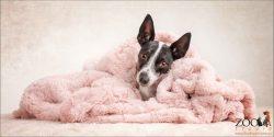 snuggled in pink blanket female mini fox terrier cross
