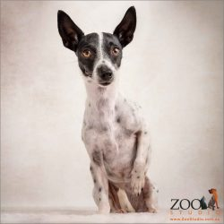 sitting sweetly with paw up mini fox terrier cross