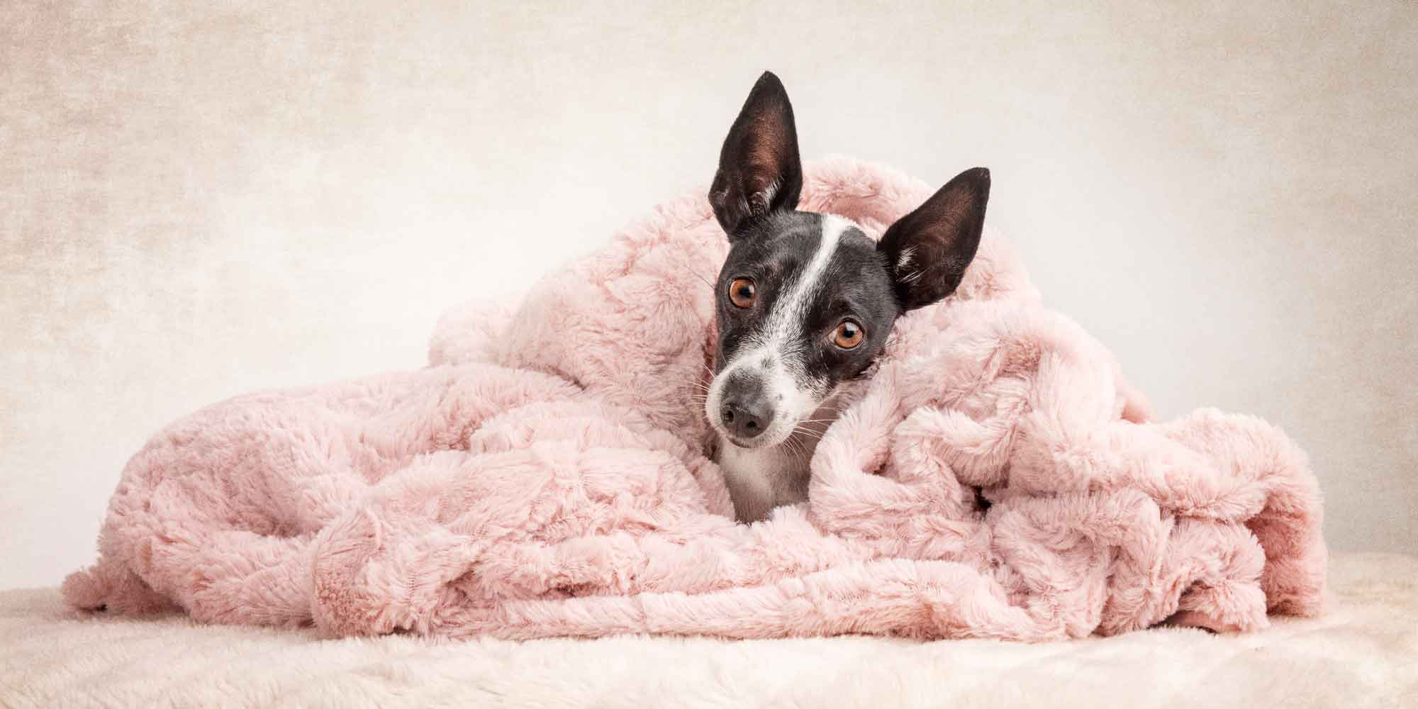 black and white mini fox terrier cross snuggled wrapped in pink blanket