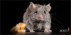 male blue grey manx mouse