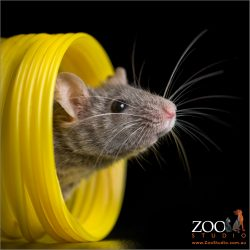 manx mouse poking head out from yellow coils